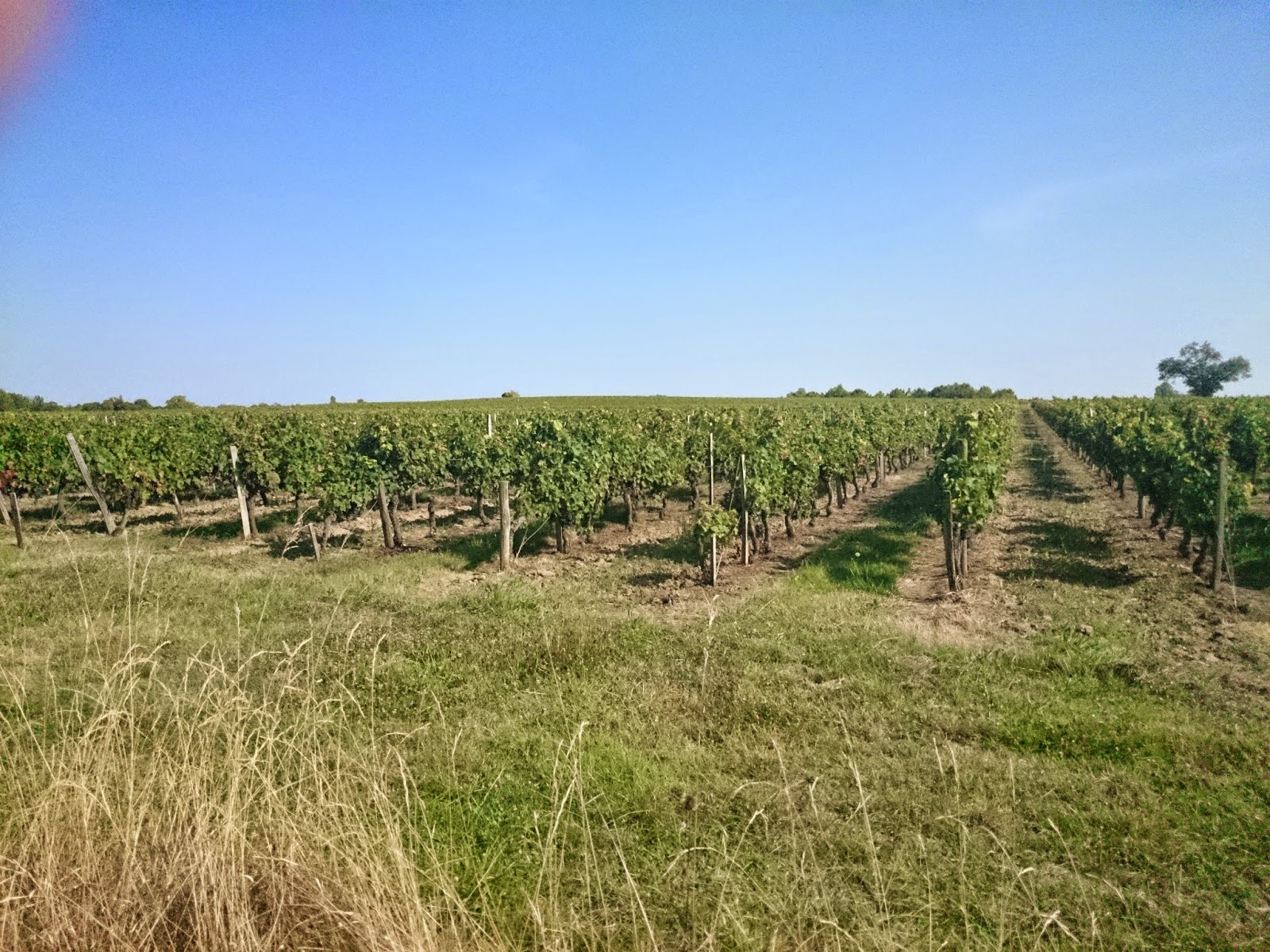 Bordeaux region in France, grapes,vine
