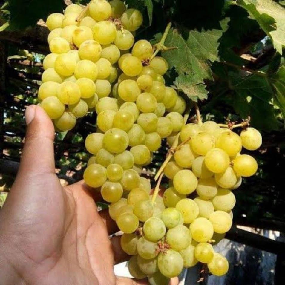 Bibit buah anggur kuning belgia ternurah Anggur kualitas terbaik Kalimantan Utara