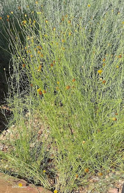 Hopi tea greenthread
