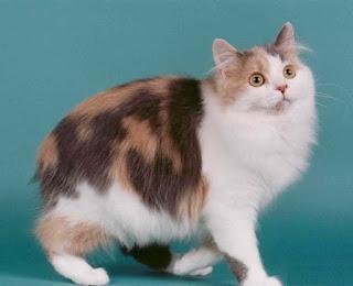 gambar kucing Cymric