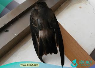 Hình ảnh chú chim yến nuôi trong nhà.