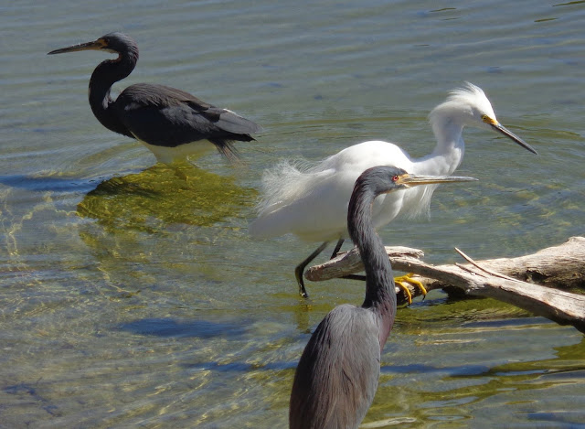 Tri-colored herons and snowy egret