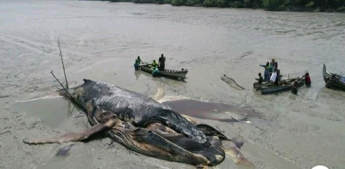 Sepanjang 14 Meter Dan Berat 20 Ton Paus Raksasa Membusuk Di Pantai Bakau Kabupaten Asahan
