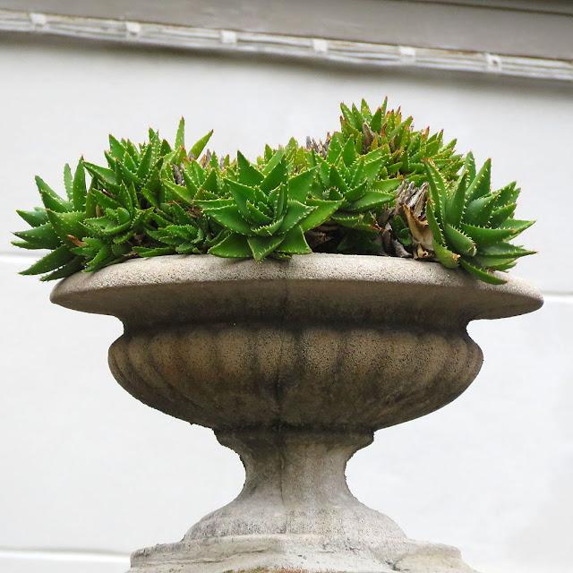 Succulente in un vaso, Viale Marconi, Livorno
