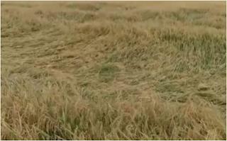 Massive damage to mango and chiku crops due to hurricane 'Tau-te' in Navsari district, drought-like conditi...