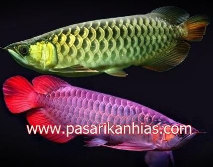 Ikan hias air tawar arwana