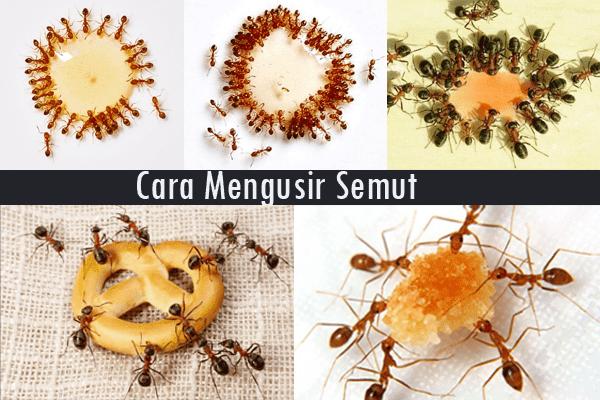 Cara Menghilangkan dan Membasmi Semut