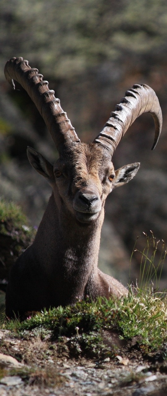 Picture of a ibex.