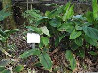 Arrowroot, Foster Botanical Garden - Honolulu, HI