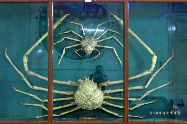 kepiting raksasa jepang museum zoologi bogor