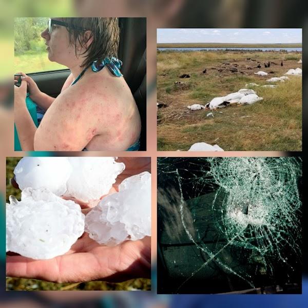 DESTRUCCION TOTAL:  11,000 Pelícanos muertos y personas heridas en montana por la terrible tormenta de granizo.