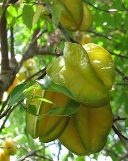 gambar Pohon belimbing yang terus menerus berbuah tanpa kenal musim