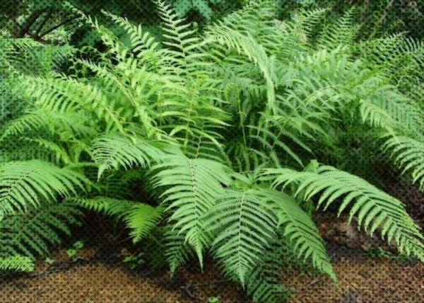 Ciri-Ciri Tumbuhan Paku (Pteridophyta) Serta  Pembagian Kelompoknya