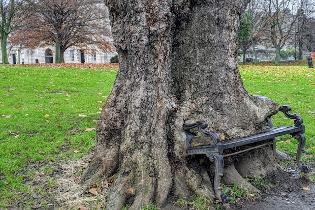 The bench-eating tree at King's Inn Law School in Dublin