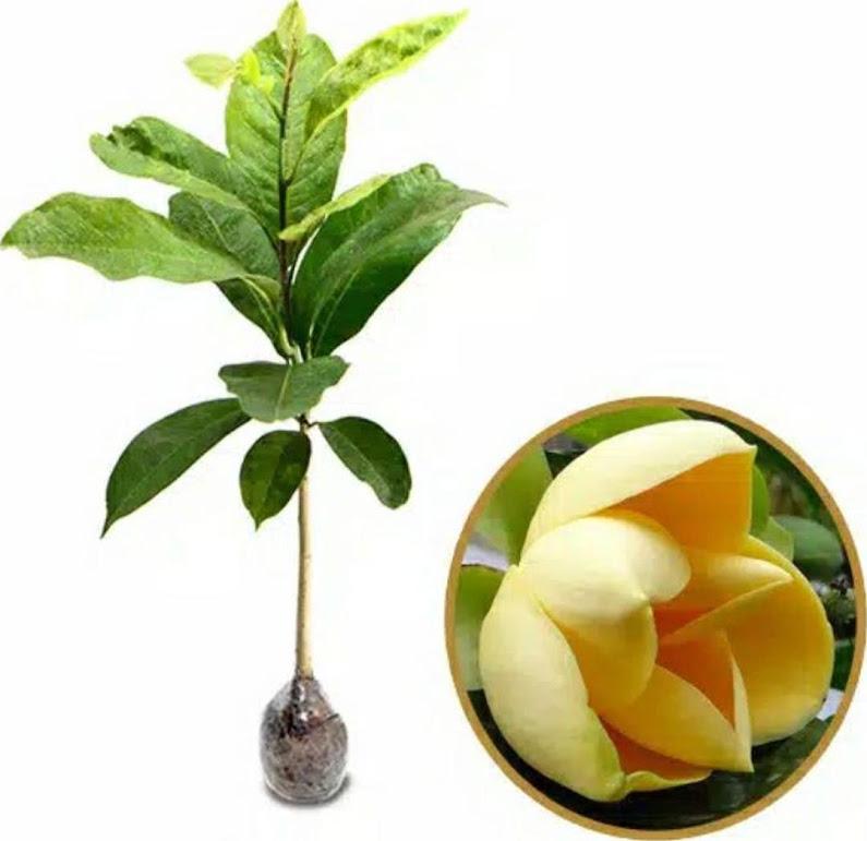 bibit bunga cempaka kuning Surakarta
