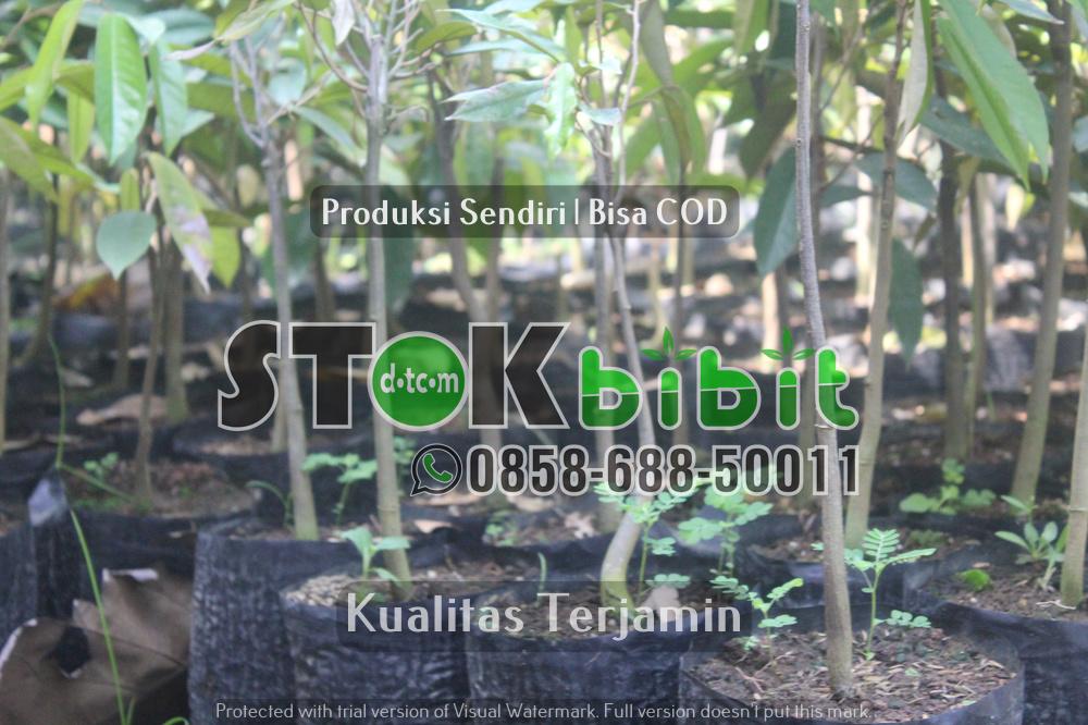 Durian Musangking Kaki 4 Yang Memiliki Keunggulan Sangat Istimewa     terjamin       Berkwalitas