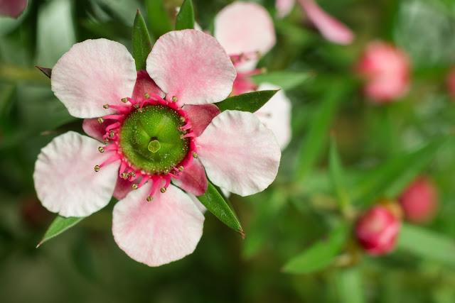 Flori ale arborelui de manuka