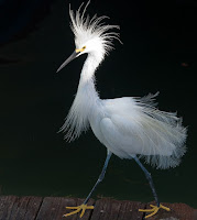 Snowy Egret displaying on a pier – May 2009 – photo by Jason Engman