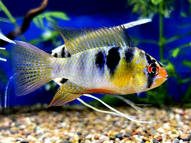 German Blue Ram Fish Care Guide And Breeding