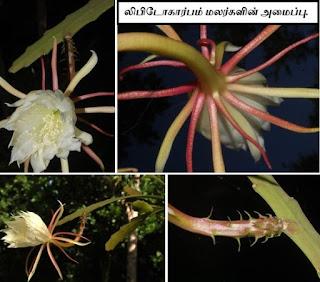 Epiphyllum lepidocarpum flower