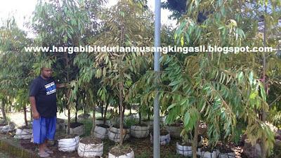 Harga bibit Durian Musang King - 082.137.433.114 / 527DDDF4