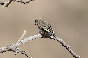 Arabian Golden-winged Grosbeak (Rhynchostruthus percivali)