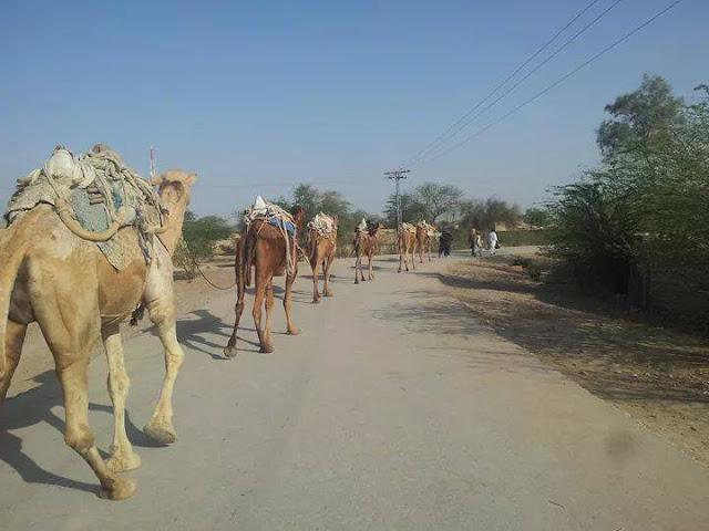 Camel karvan