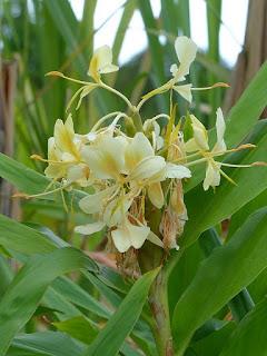Longose jaune vanille - Hédychie jaunâtre - Hedychium flavescens