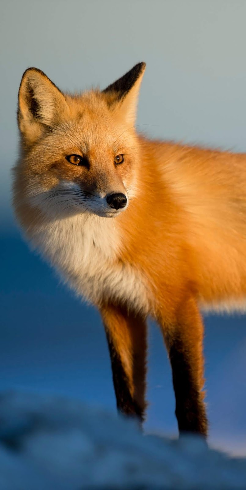 Portrait of a red fox.