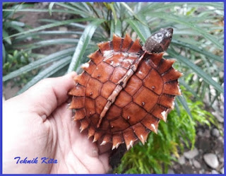 Matahari turtle