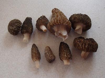 grzyby majowe, grzyby w maju, majowe grzyby jadalne, grzybobranie na wiosnę, grzybobranie w maju, gąsówka fioletowawa, gąsówka naga, Lepista nuda, smardz stożkowaty, Morchella conica, Żółciak siarkowy Laetiporus sulphureus, dzwonkówka tarczowata Entoloma clypeatum, maślak zwyczajny Suillus luteus, gęśnica wiosenna Calocybe gambosa, borowik ceglastopory Boletus luridoformis, pieczarka, czernidłak, maślanka wiązkowa. Hypholoma fasciculare