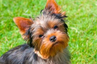¿Cuán importante es el pedigree en un Yorkshire Terrier?