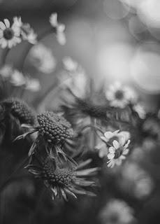 صور ورود سوداء، اجمل صور زهور سوداء اللون