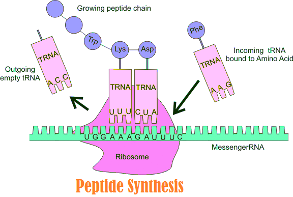 peptide synthesis mechanism
