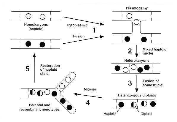 types of fungal fruiting bodies pdf