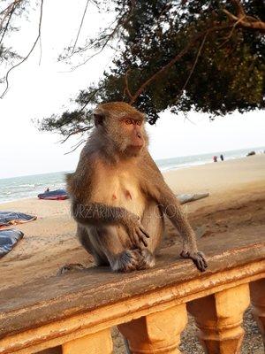 Monyet Pantai Teluk Cempedak Tarik Perhatian Pengunjung