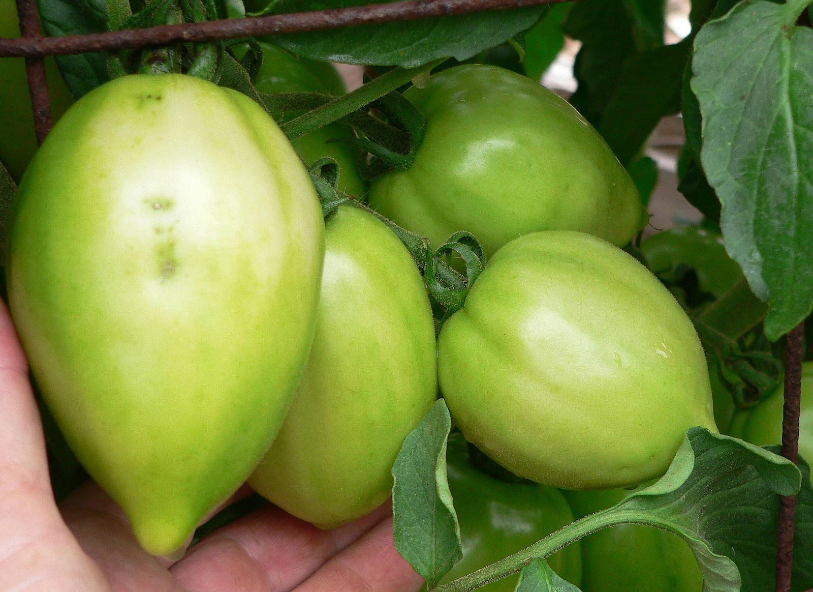 Mama Hybrid We Have Fallen In Love With Her It Is A Roma Are Not Of Tomatoes To Us Their Texture Mushy And Flavor Inferior