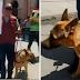 Chiclayo: 'Rocky', el primer teniente gobernador canino del país que lucha contra los pirotécnicos