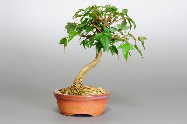 トウカエデ-N1-2(唐楓盆栽)Acer buergerianum bonsai