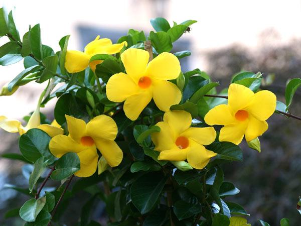 Real world gardener climbing plants climbing plants for for Dipladenia sanderi