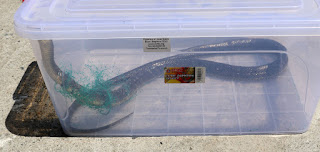 Snake freed and in a box for release