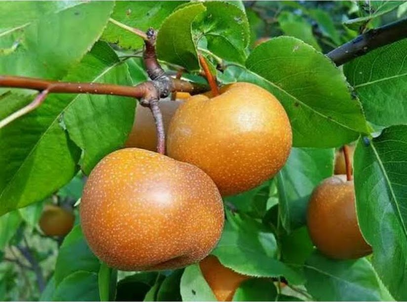 Bibit buah pir asia Sawahlunto