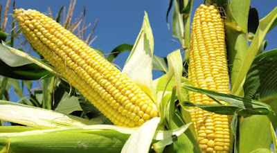 Nigeria To Send Back Illegally Imported Genetically Modified Maize