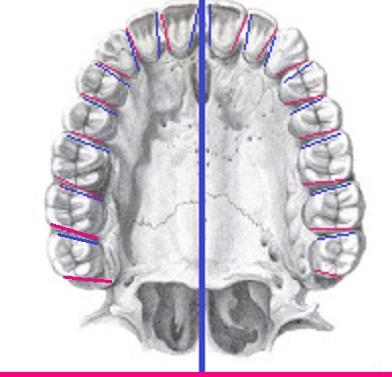 Anatomía dental: ¡Lo básico!. Anatomía Dental.