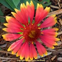 Singular Gaillardia Pulchella Indian Blanket Flower