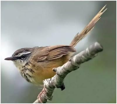 Mungkin para kicau mania sudah banyak yang mengetahui burung yang satu ini Perbedaan Burung Ciblek Gunung Jantan dan Betina