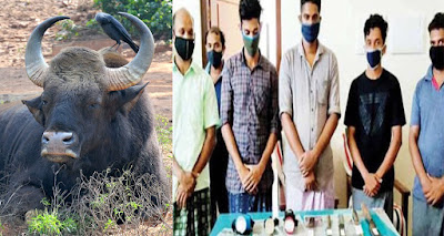 6 Arrested After Hunting a 'Pregnant Wild Buffalo' and Eating its full-grown Embryo