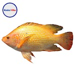 Ikan Mas 500 Gram