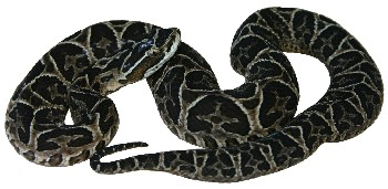 Cobra Urutu (Bothrops alternatus)