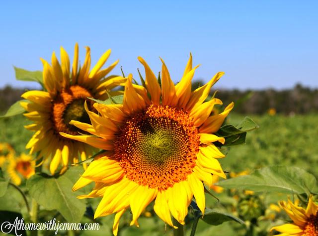 Sunflower Farm Dothan Alabama:Jemma's Tales